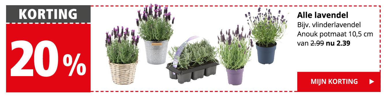 KORTING 20% | Alle lavendel | Bijv. vlinderlavendel Anouk potmaat 10,5 cm van 2.99 nu 2.39 | Mijn korting >