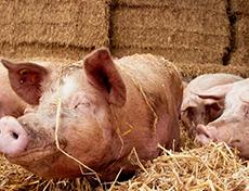 Eerste varkensstal met 2-sterren Beter Leven keurmerk geopend